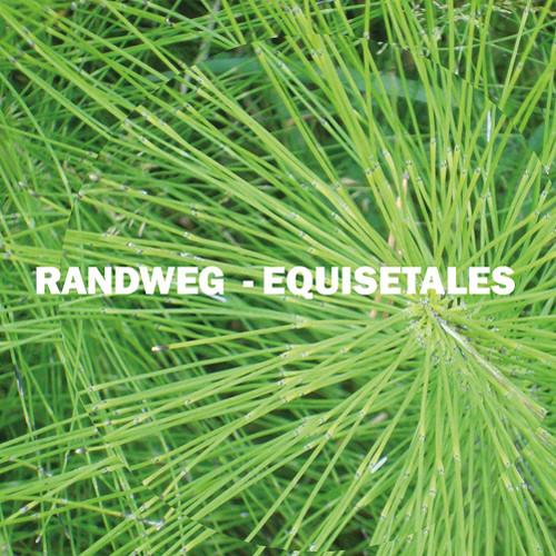 Equisetales